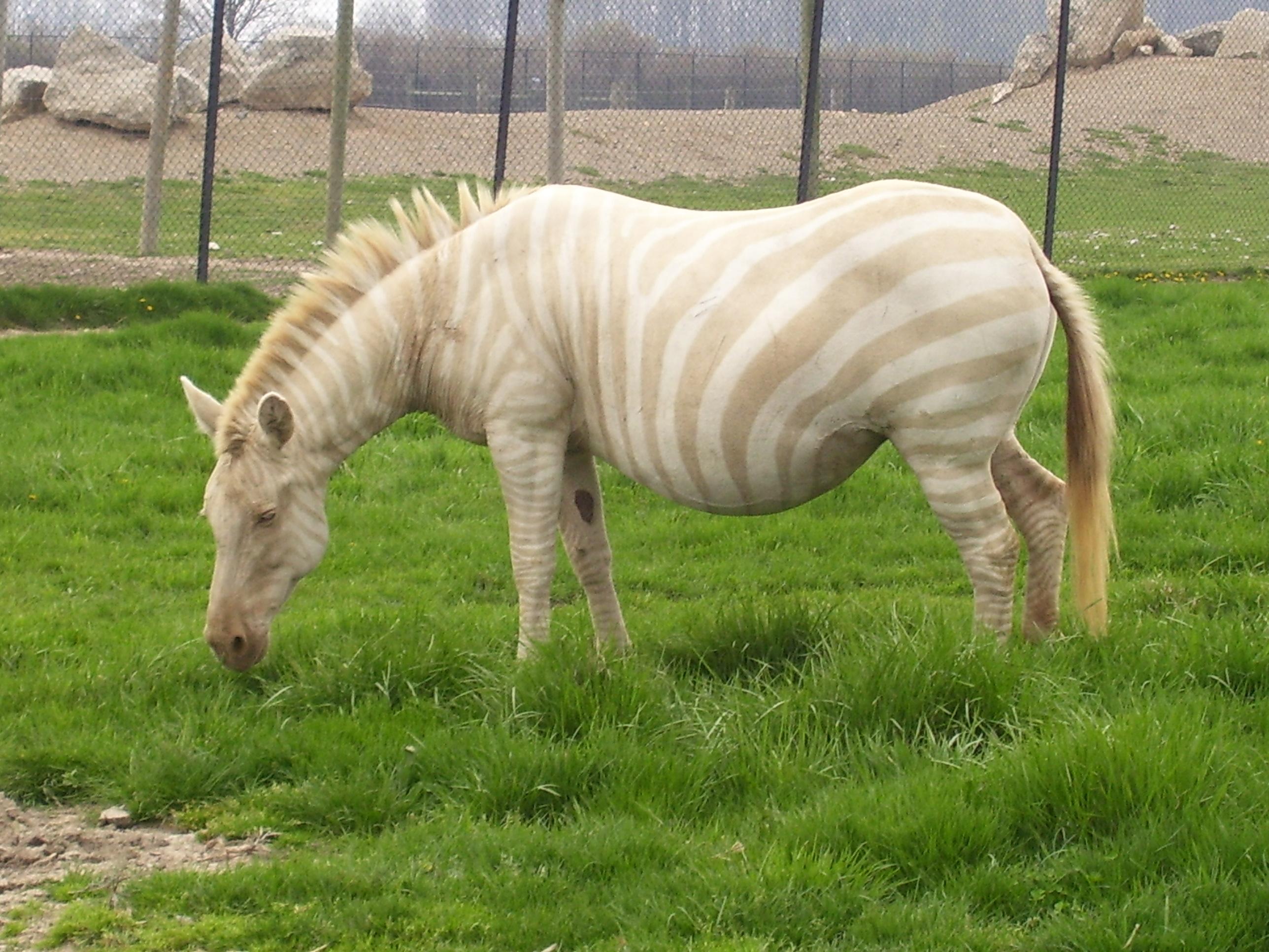 Zebra Without Stripes A zebra without it s stripes